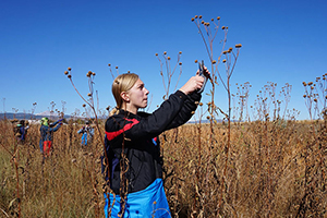 A student trims the top of a tall plant in a large open field
