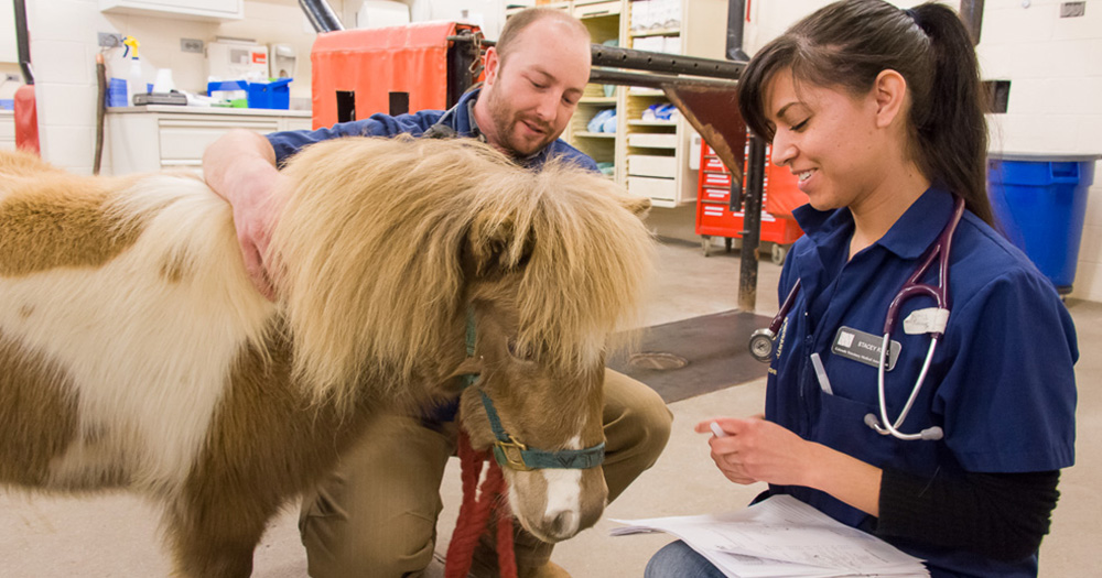 vet students work with a mini horse in the teaching hospital