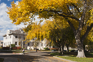 A cyclist pedals under the bright yellow changing leaves of fall near the Oval at Colorado State